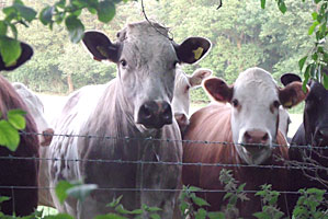 Beef cattle graze the fields